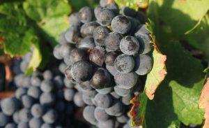 vins-cheminade grappe raisins